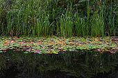 Reeds and water lilies reflected in a river.