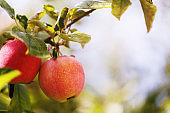 Two ripe apples on a branch close-up with space for text