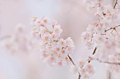 Cherry blossom pink flowers , Cherry flowers in small clusters on a cherry tree branch on pink background