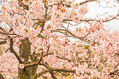Beautiful cherry blossom , sakura  in spring time in soft focus.