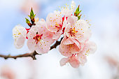 Beautiful cherry blossom , sakura  in spring time  (Soft focus ).