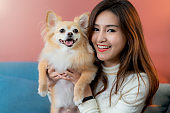 beautiful attractive woman playing with lovely chihuahua brown hair dog with on sofa home background