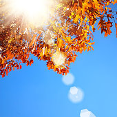 Yellow and Red maple leaves during fall season against sunny blue sky