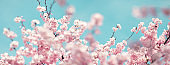 Pastel Colored Panoramic Cherry Blossoms