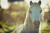 White horse smiles at camera