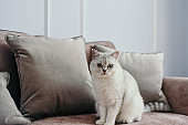 beautiful white grey cat on cauch in classic french home decor near the window. Fall weekend cozy and hygge concept