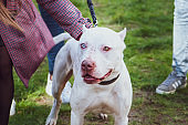 White pitbull with eyes of different colors, Exhibition of dogs, Staffordshire Terrier dog with the owners