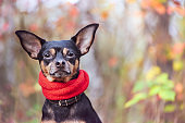 Smart dog  terrier with ideal data stands in the autumn forest and looks into the camera.Wearing a red scarf. Picturesque portrait of a dog.