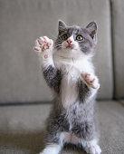 The lovely British cat kitten