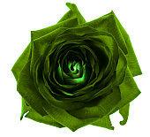 Green rose flower macro isolated on white