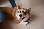 Funny Welsh Corgi Pembroke puppy with glasses home, cute smiling dog