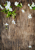 Spring background with  pear blossom flowers, top view, springtime concept.