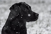 Labrador Retriever in the snow