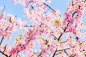 Kawazu cherry blossom