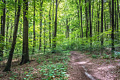 Forest road among beech trees in Pazurek natural preserve in Poland