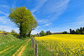 Landscape French Limousin with rape seed