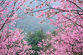 Mountain is covered with a pink cherry blossom,