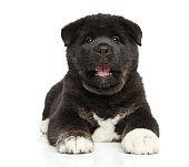 American Akita puppy yawn on white background