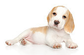 Beagle puppy lying on white background