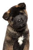 Close-up portrait of a young American Akita puppy on white background