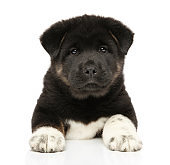 American Akita puppy lying on a white background