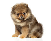 Pomeranian Spitz puppy. Baby animal theme