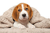 Beagle puppy lying under the blanket