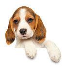 Beagle puppy above banner