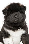 Close-up of American Akita puppy