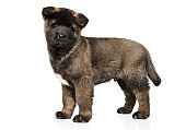 American Akita puppy in stand on white background