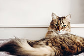 Beautiful tabby cat lying on bed and seriously looking with green eyes. Fluffy Maine coon with funny emotions resting in white stylish room.