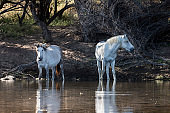 Wild White Horses in the river