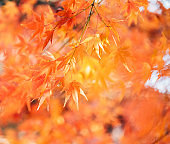 Red maple tree with golden sunlight and blurred background, Japan