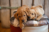 Puppies lying down on pillow