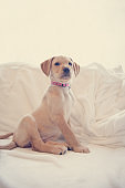 Puppy sitting down on white sheets