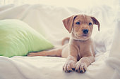 Portrait of puppy lying down on white sheets