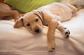 Puppy lying down on white sheets