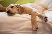 Puppy sleeping on white sheets