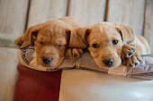 Two puppies lying down on pillow
