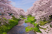 Cherry blossoms along the river