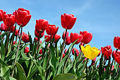 ers tulips against the sky (relaxation, special, exclusive, alternative - concept)