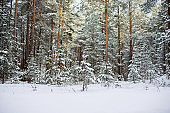 Snow-covered pine forest on a sunny winter day, Estonia