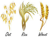 Cereal plants - wheat, rice and oat. Set of realistic vector illustrations.