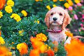Happy little cocker spaniel puppy sitting outdoors in a flower garden