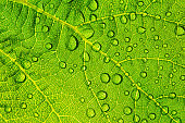 Water drops on fresh green leaf textur background
