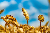 stems of wheat are depicted on the backgroud of blue sky on sunny day