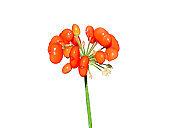 Berries of Ginseng (Panax ginseng) 3