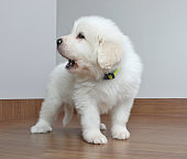 Great Pyrenees dog puppy barking