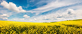 Sunny spring view of the field of blooming colza. Picturesque morning scene of the countryside.