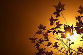 Maple leaves against bright light in fog